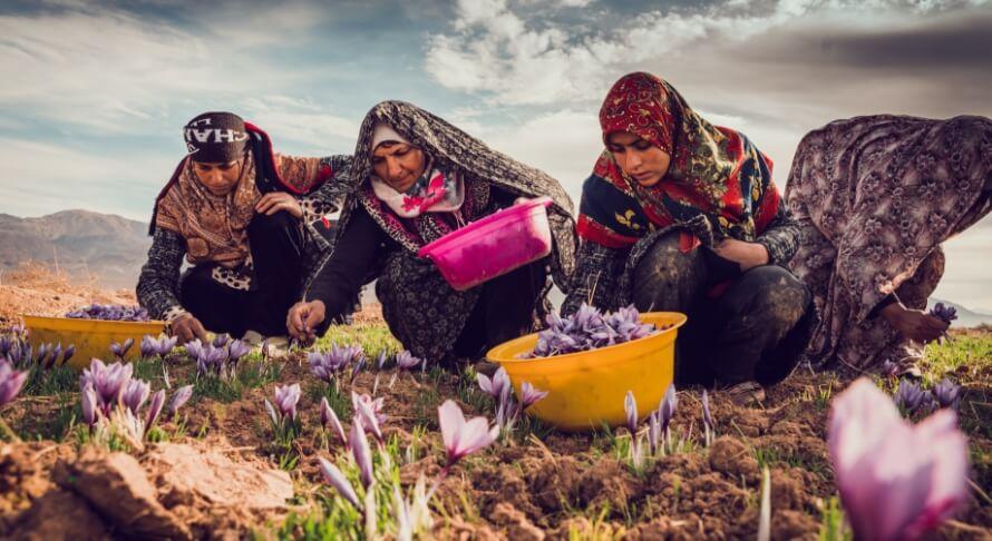 Cueillette Fleur Pistil Safran Bio