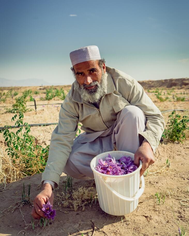 Parcelle Safran Agriculture Biologique