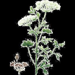 Plante Infusion Anis Vert Bio