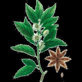 Plante Infusion Badiane Bio