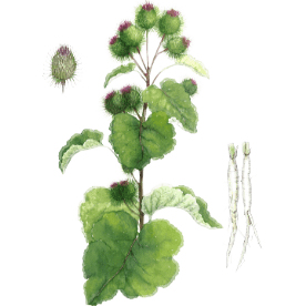 Plante Infusion Bardane Bio