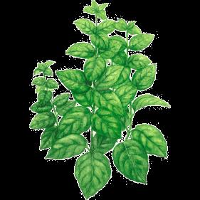 Plante Infusion Basilic Bio