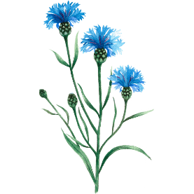Plante Infusion Bleuet Bio