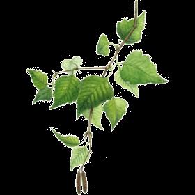 Plante Infusion Bouleau Bio