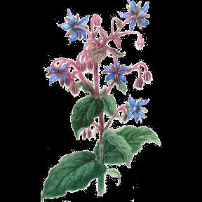 Plante Infusion Bourrache Bio