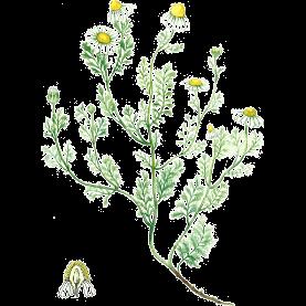 Plante Infusion Camomille matricaire Bio