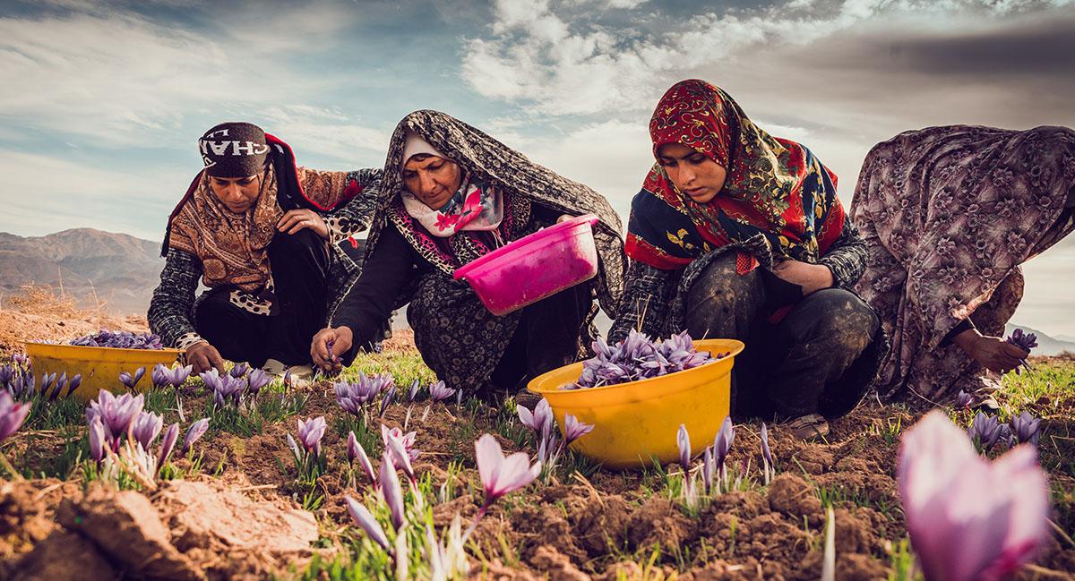 Cueilleuses safran bio Iran