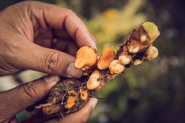 Filiere Curcuma Madagascar Arcadie