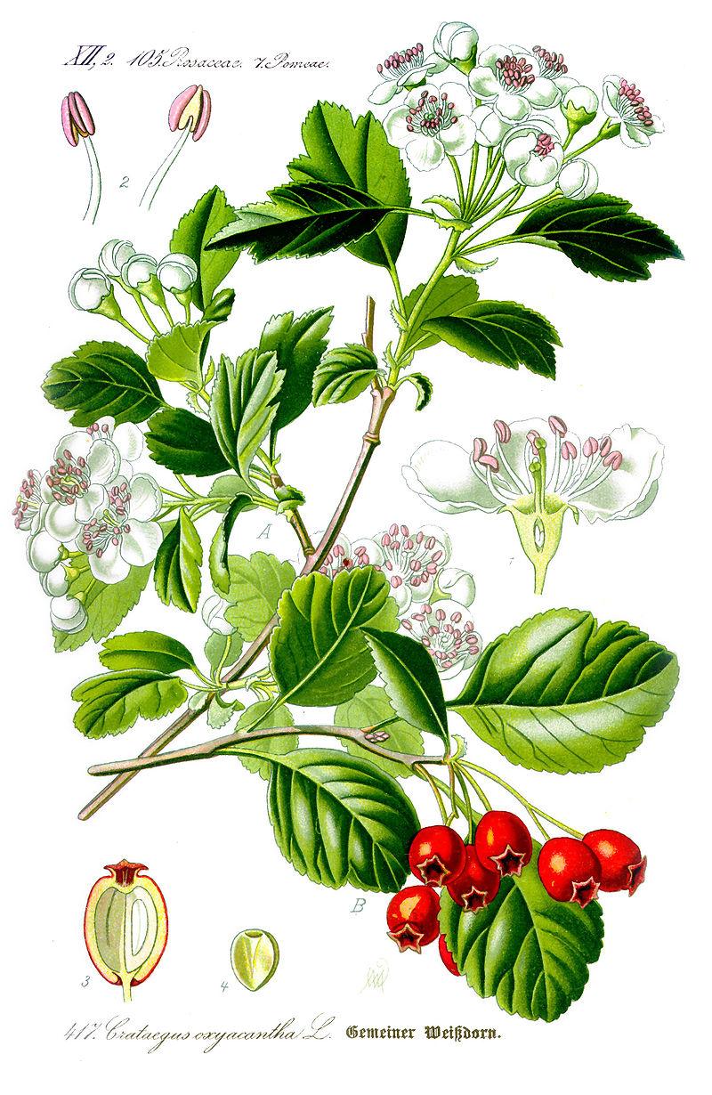 planche botanique aubépine