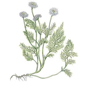 Arcadie camomille romaine fleur bio