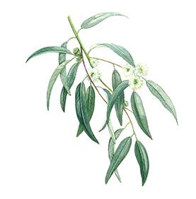 Arcadie eucalyptus feuille bio aquarelle