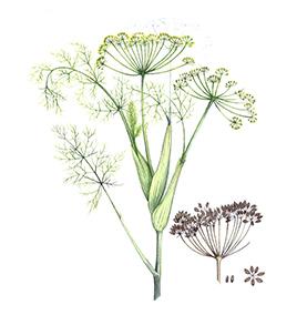 Arcadie fenouil graine bio aquarelle