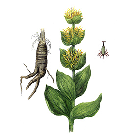 Arcadie gentiane racine bio