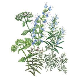 Arcadie herbes de provence bio aquarelle