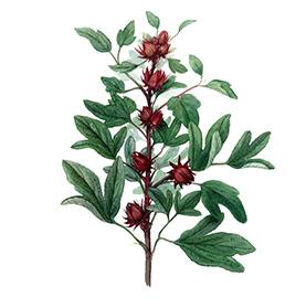 Arcadie hibiscus fleur bio