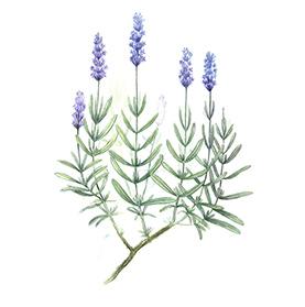 Arcadie lavande fleur bio