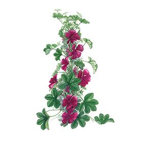 Arcadie mauve fleur bio