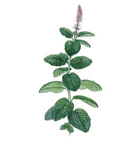 Arcadie menthe douce feuille bio