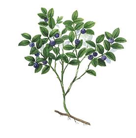 Arcadie myrtillier feuille bio