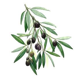 Arcadie olivier feuille bio