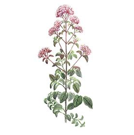 Arcadie origan feuille et fleur bio