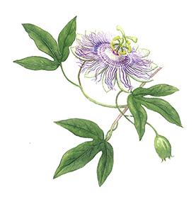 Arcadie passiflore plante bio