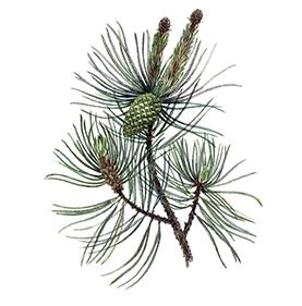 Arcadie pin bourgeon bio