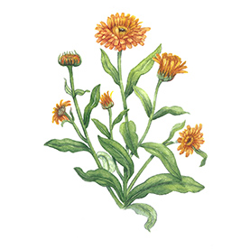 Arcadie souci calendula fleur bio