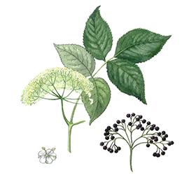 Arcadie sureau fleur bio