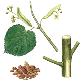 Arcadie tilleul aubier et fleur bio