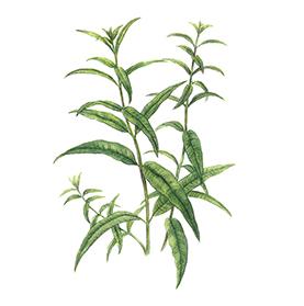 Arcadie verveine odorante feuille bio