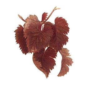 Arcadie vigne rouge feuille bio