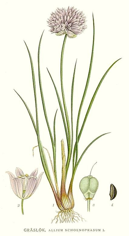 Ciboulette Planche Botanique Wikipedia