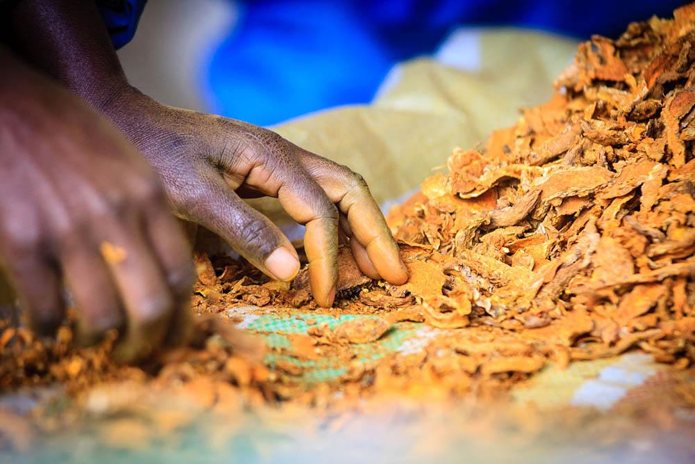 Curcuma Madagascar Tri Chips Séchés Photo Max Beaufey