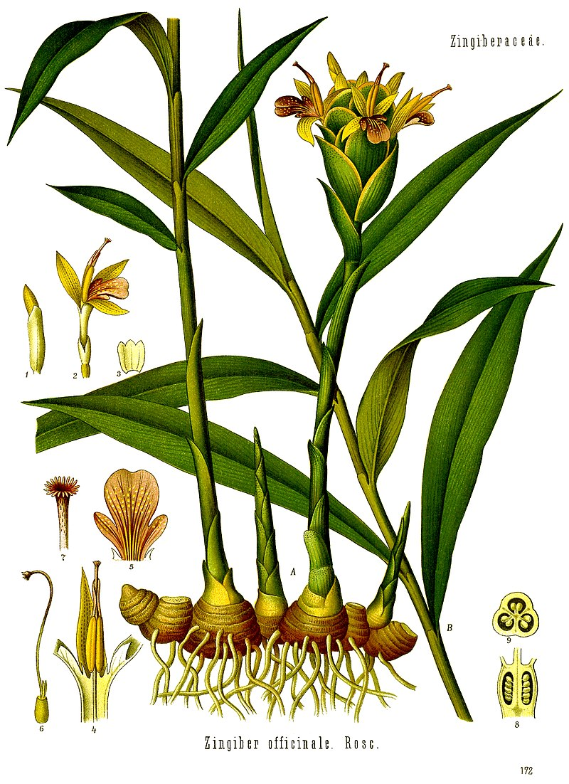 Gingembre Wikipedia Planche Botanique