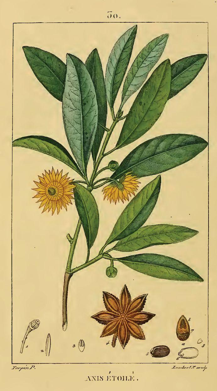 planche botanique bardane