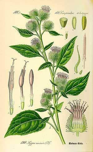 bardane planche botanique