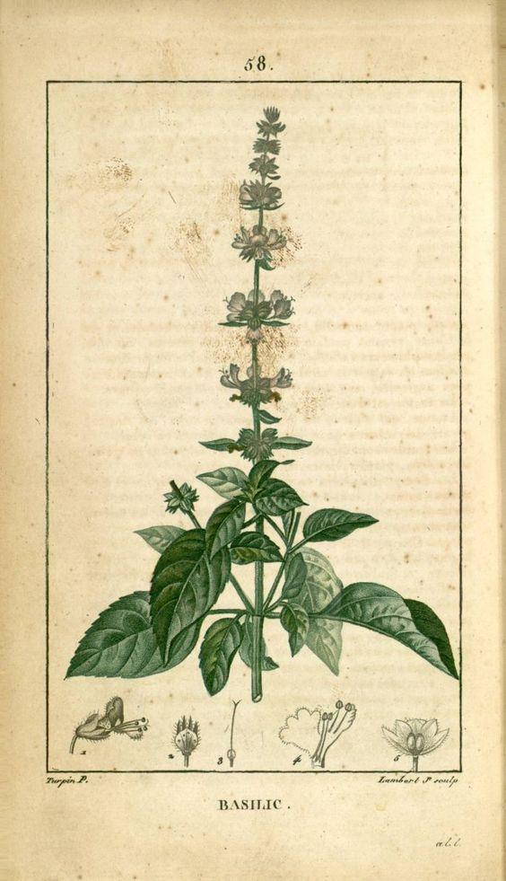 basilic planche botanique