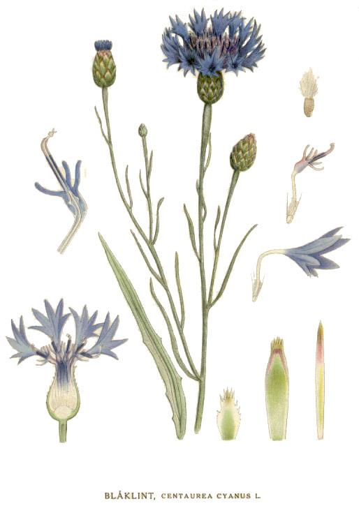 planche botanique bleuet