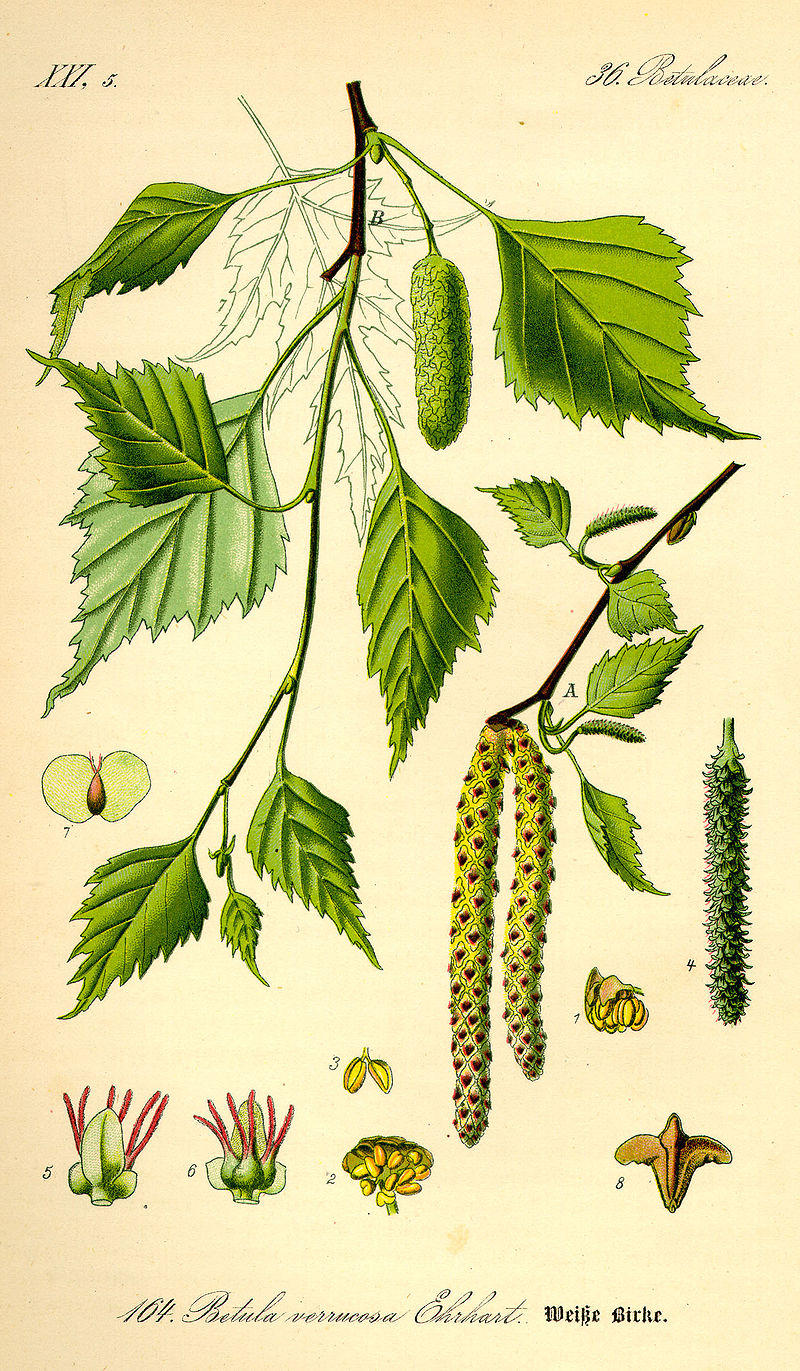 planche botanique bouleau