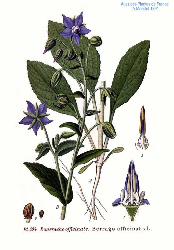 planche botanique bourrache