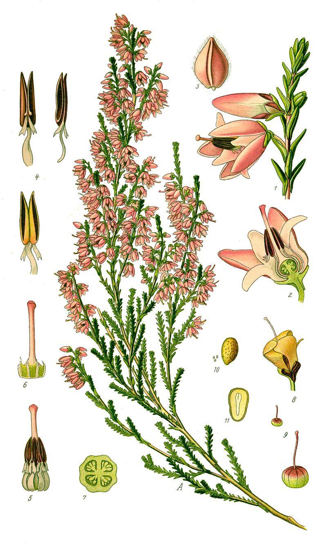 planche botanique bruyère