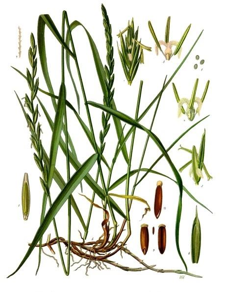 planche botanique chiendent