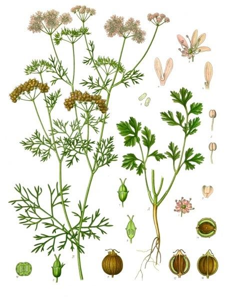 planche botanique coriandre