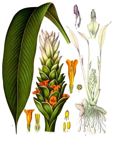planche botanique curcuma