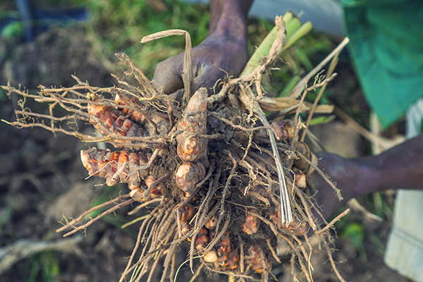 Curcuma rhizome sorti de terre Photo Samuel Avril