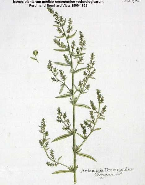 planche botanique estragon