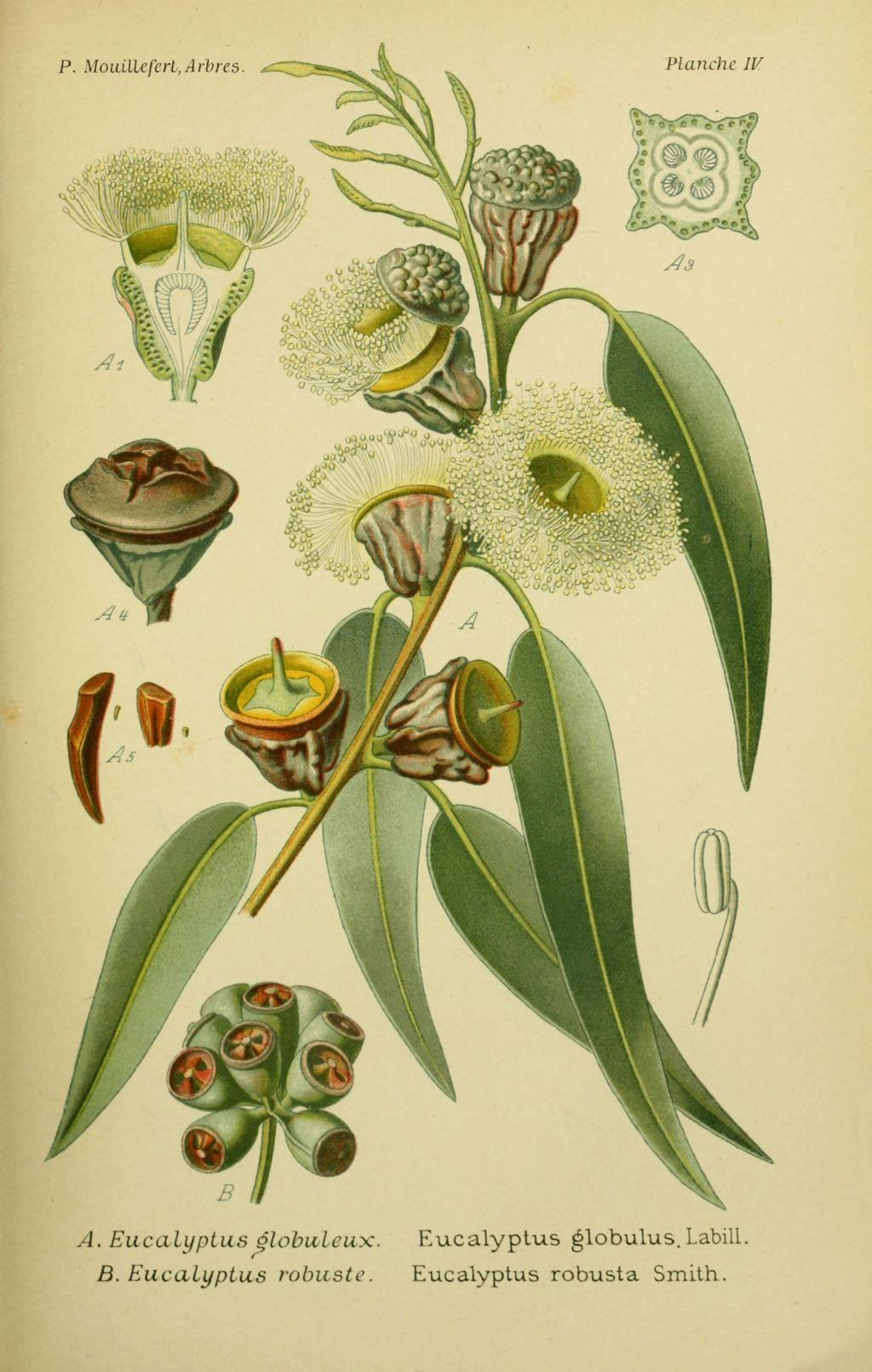 planche botanique eucalyptus