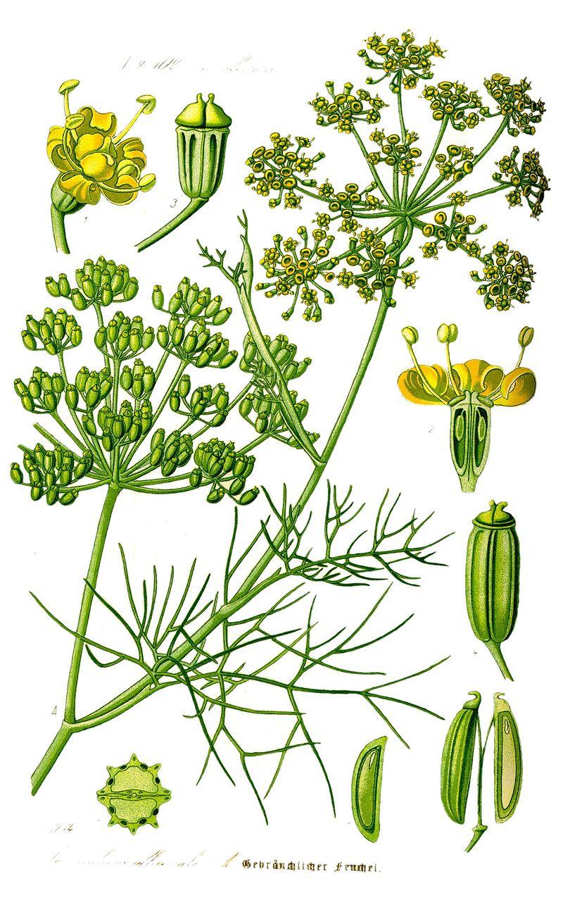 planche botanique fenouil
