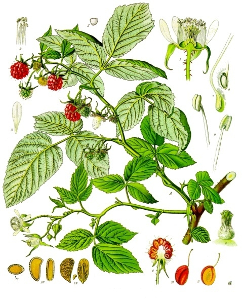 planche botanique framboisier